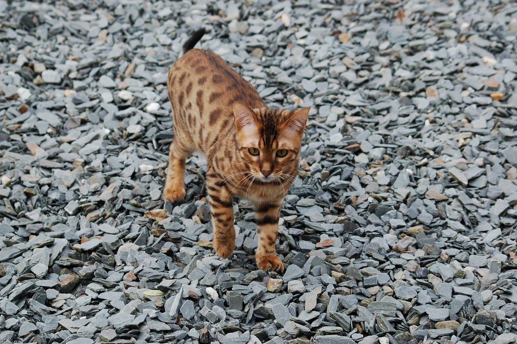 bengal cat by roberto shabs, on Flickr