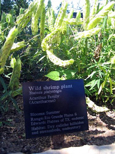 wild shrimp plant