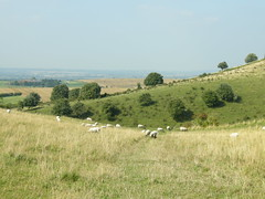 Sheep in late summer