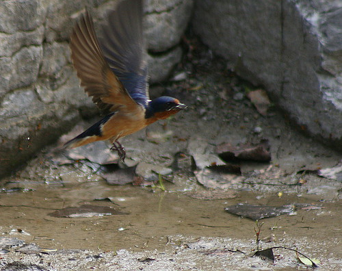 Barn Swallow taking mud for nest
