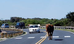 Seeing the horses on Assateague Island