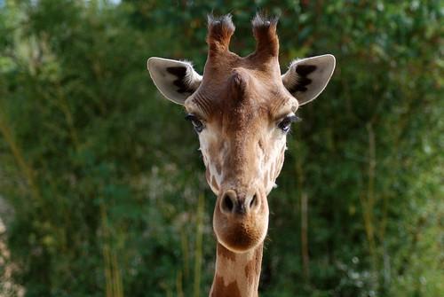 Westafrikanische Giraffe im Zoo von Doué-la-Fontaine