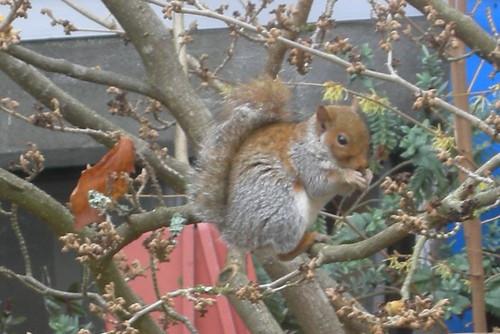 Nemesis squirrel, Dr. Destructo