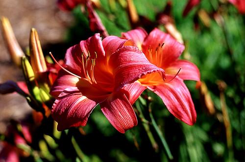 Pink Fancy. (Kodak Ektachrome E100VS. Nikon F100. Epson V500.)