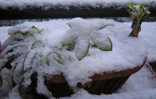 Christrose im Schnee
