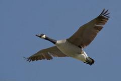 Canada Goose (Branta canadensis) in Morro Bay,...