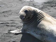 Fur Seal at Isla Guadalupe