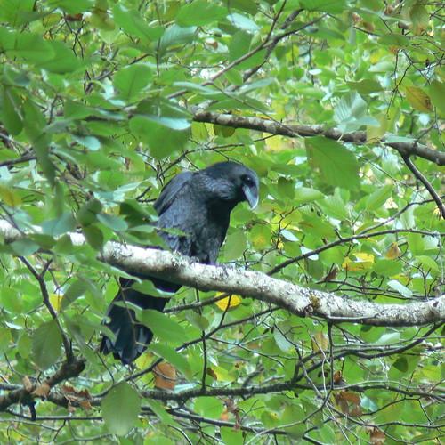 Intense Raven