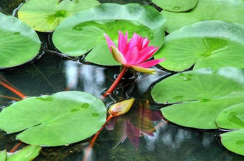 Le Ballet de Water lily