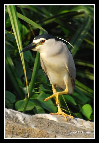 Night heron in penance