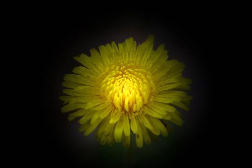 A Very Dandelion