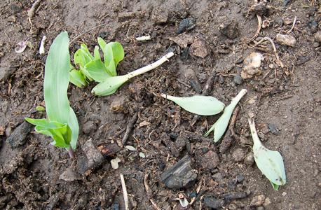Plantas de milho cortadas