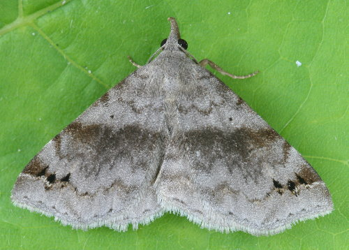 8479 - Spargaloma sexpunctata - Six-spotted Gray