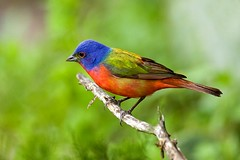Painted Bunting - Texas Hills_H8O3305-Edit-2