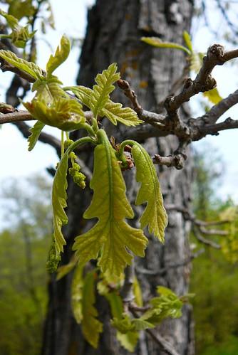 bur oak unfurling