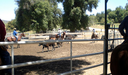 roping cattle