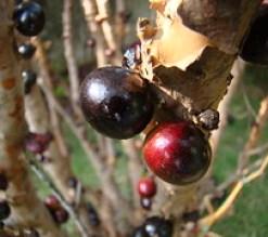 Jabuticaba (Myrciaria cauliflora) fruits,  Bra...