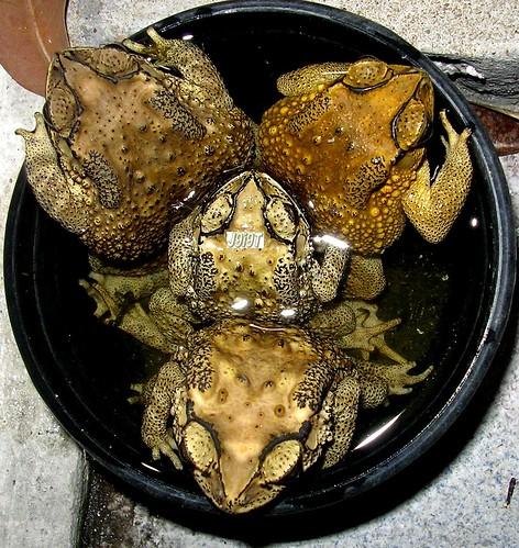 Toad 4 set - Group SEX คางคกเซ็ท 4 ตัว - เซ็กส์หมู่