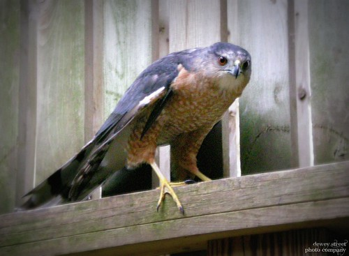 The new kid: a Coopers hawk was brought to the flight cage this week.  He is under observation only for right now.