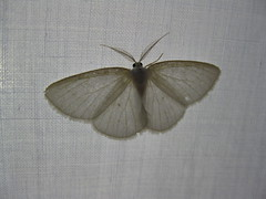 Inchworm Moth