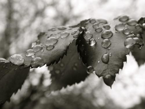 droplets on rose leaves