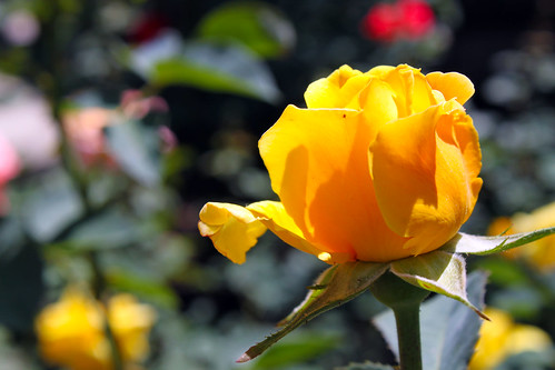 Yellow-Rosebud