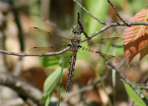 Epitheca cynosura - Common Baskettail