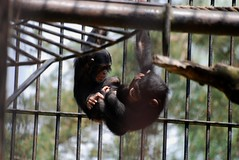 Schimpansen im Zoo Gdansk