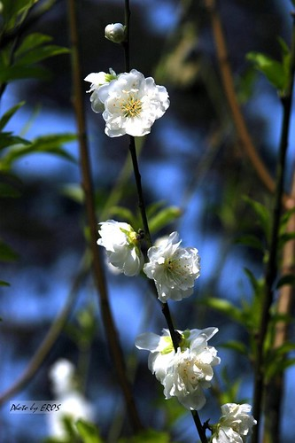 男友拍的白色杏花