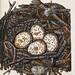 005-Nido del Milano Real-Colección de nidos de aves 1772