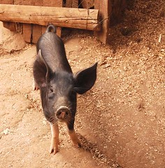 Pig for poo
