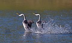 Western Grebes Courtship Dance