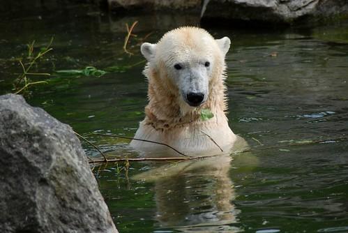 Eisbärin Tosca im Zoo Berlin