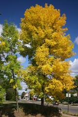 An ash tree in Ely brightens the local landscape in September. Steve Katovich photo.
