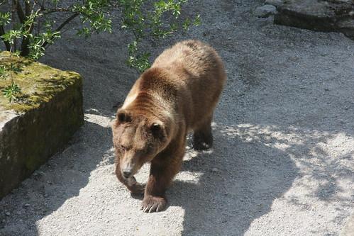 Bear in the Bärengraben, Bern