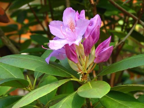 Rhodie in bloom