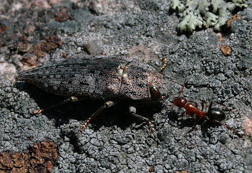Dicerca divaricata - metallic woodboring beetle