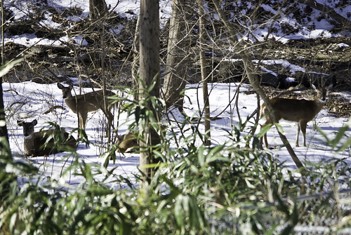 Deer in my gully