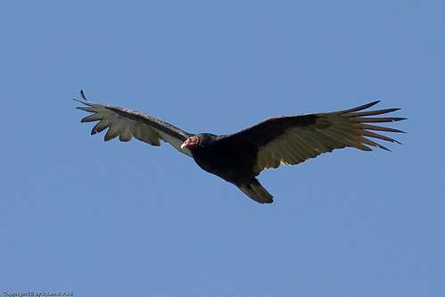 Turkey Vulture by you.