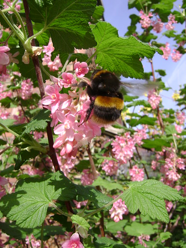 Bumble Bee on Currant Bush