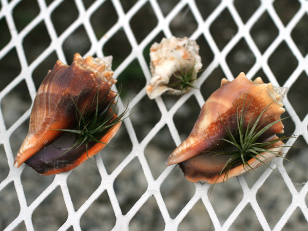 Tillandsia Crabs