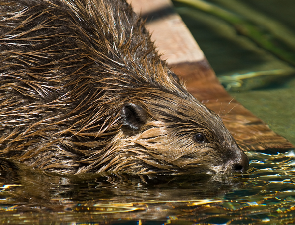 beaver at the hatchery