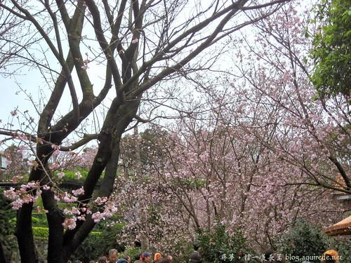 2009年3月淡水無極天元宮賞櫻_1674