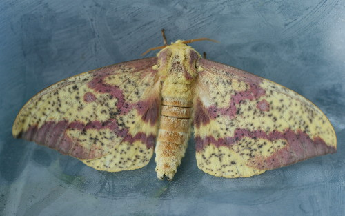 7704 - Eacles imperialis - Imperial Moth