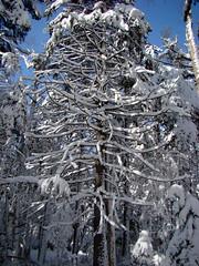 Snow Gilded