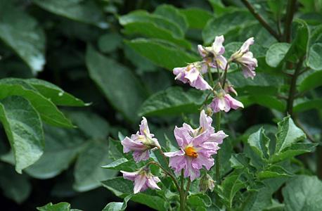 flor de batateira - stemster