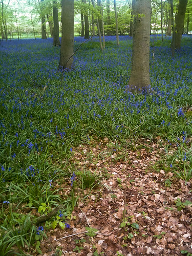 Buckinghamshire bluebells 2