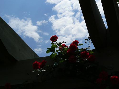 Norfolk Botanical Gardens - Lit Roses and Sky