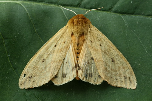 8129 - Pyrrharctia isabella - Isabella Tiger Moth