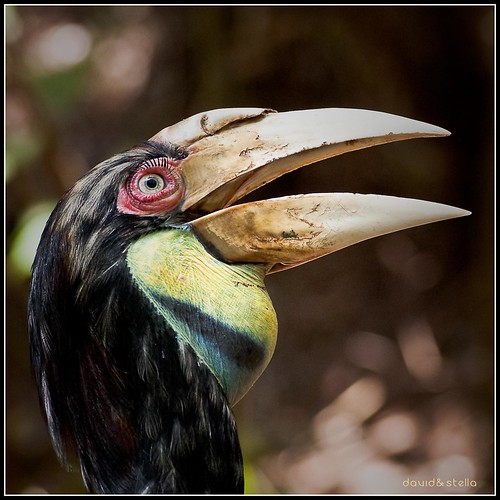 Wreathed Hornbill {buceros bicornis}